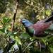 Kereru, New Zealand Pigeon