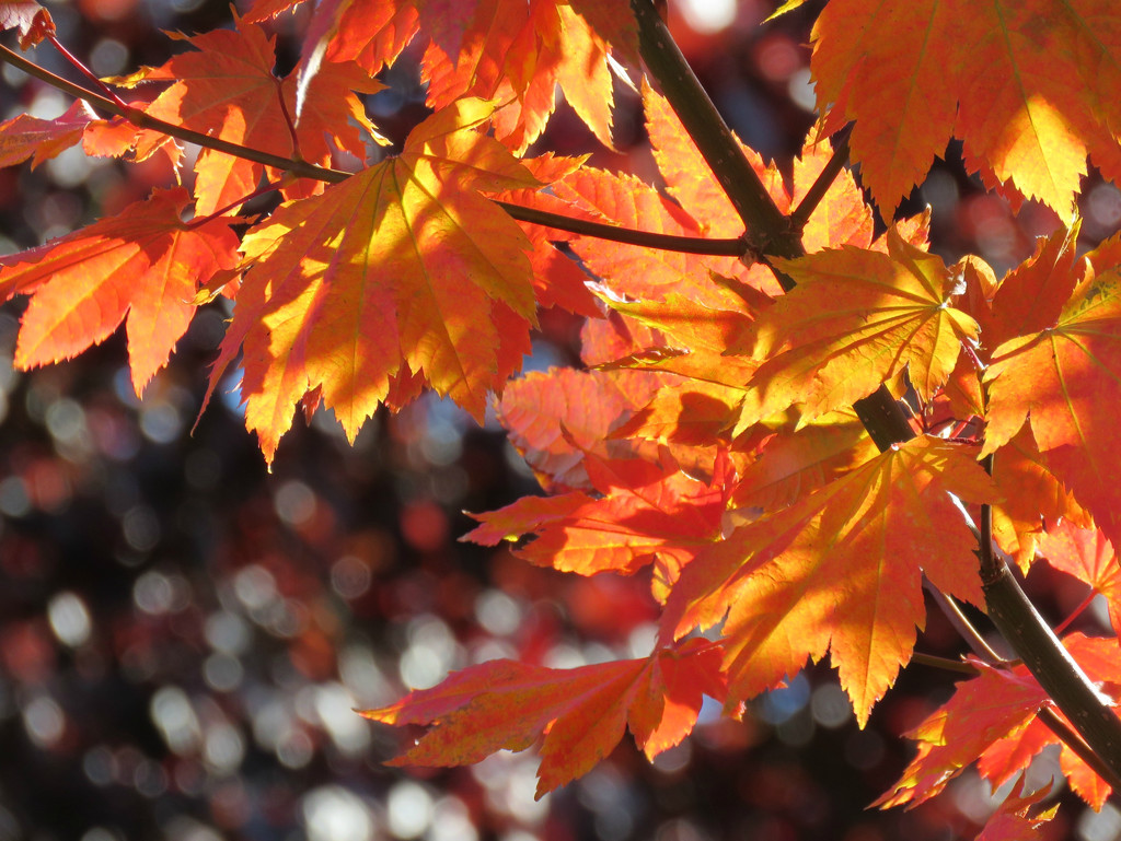 Backlit Autumn Leaves by seattlite