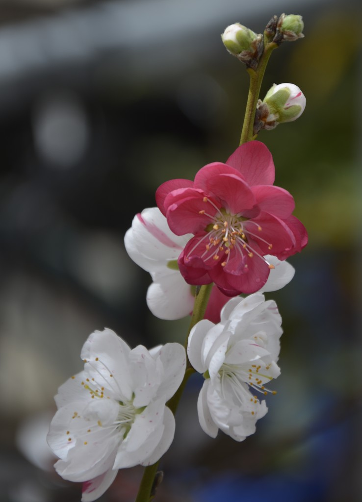 Flowering Peach_DSC3431 by merrelyn