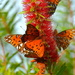 Gulf fritillaries by congaree
