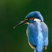 Male Kingfisher plus Aphid!!! by padlock