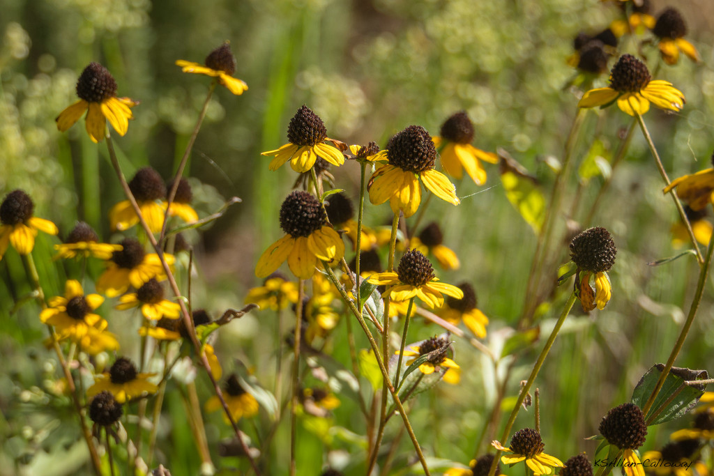 Black eyed Susans by randystreat