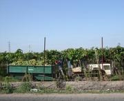 30th Sep 2016 - Grape harvest...