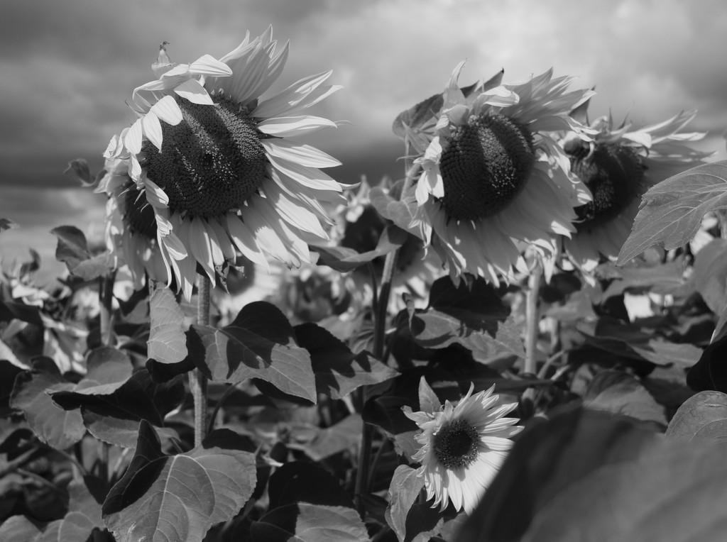 Windswept Sunflowers by jennywren