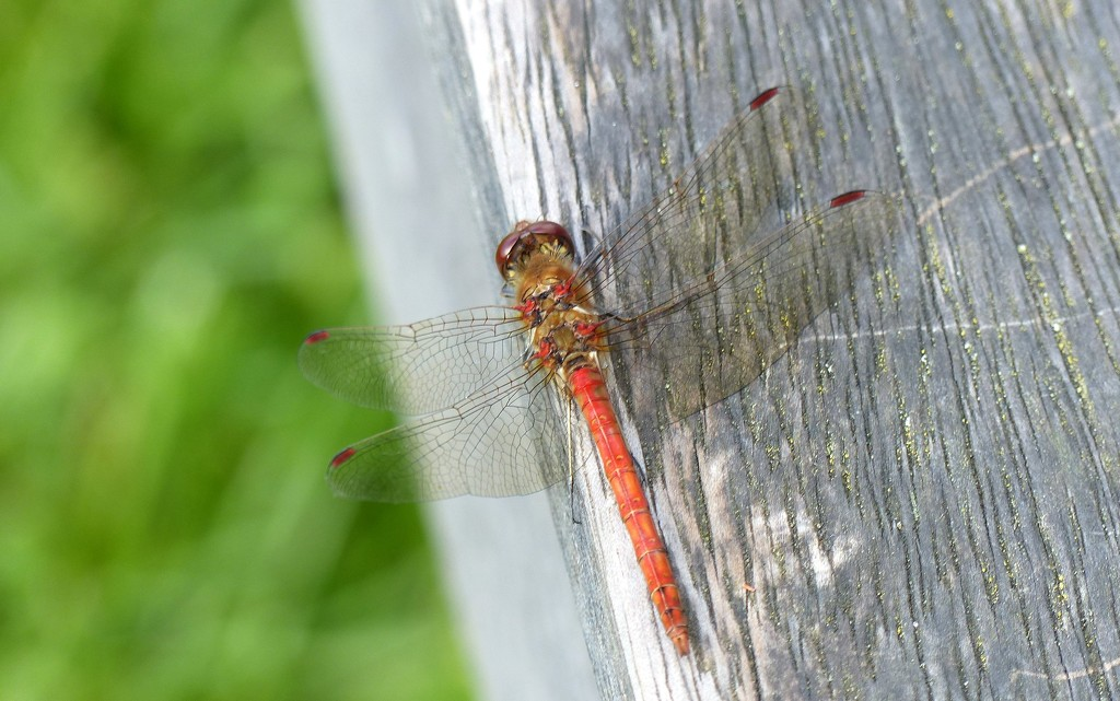 Common Darter? by g3xbm