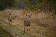 5th Oct 2016 - Two Young Bucks on the Flint Hills Nature Trail