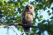 7th Oct 2016 - Bard Owl