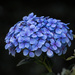 Blue Hydrangea by dorsethelen