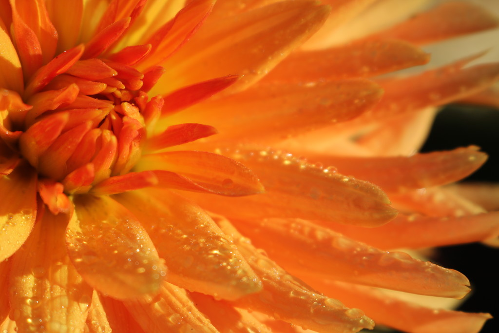 Early Morning Dew on Dahlia by phil_sandford