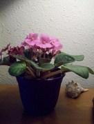 8th Oct 2016 - African Violets