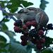 Blackberry picking by ziggy77