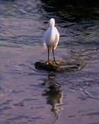 9th Oct 2016 - The Little Egret