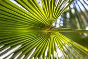 9th Oct 2016 - Palm Leaf