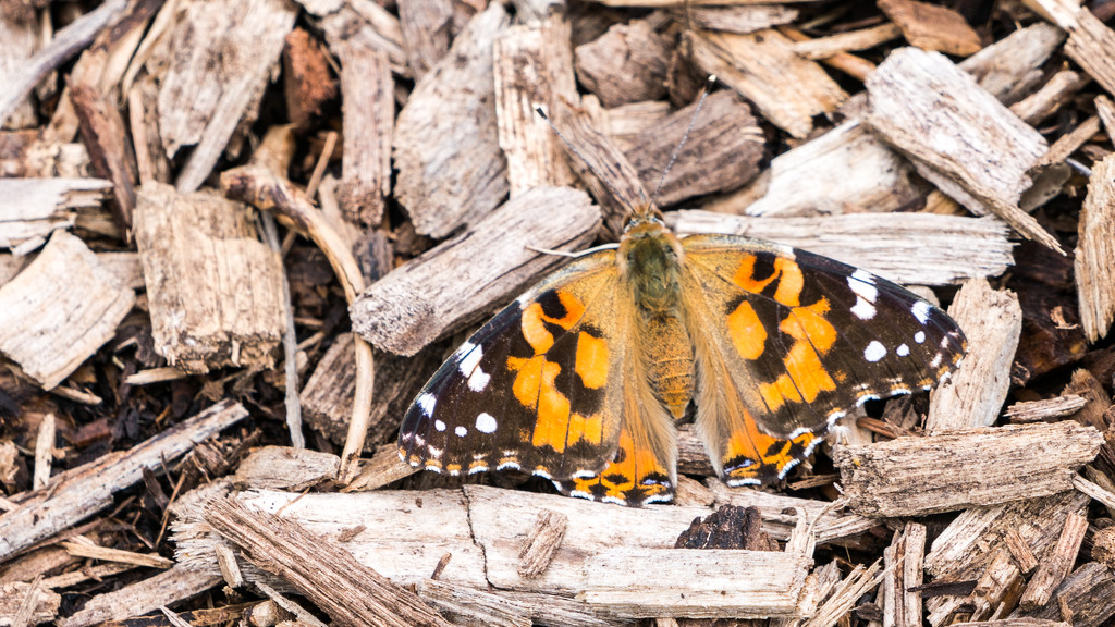 West Coast Painted Lady Butterfly by rminer