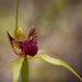 Another spider orchid