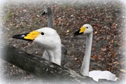 8th Oct 2016 - Whooper or Bewick swans