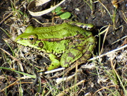 10th Oct 2016 - Iberian Water Frog - Pelophylax perezi