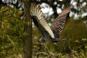 10th Oct 2016 - Vulture in Rain
