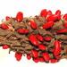 High Key Magnolia Fruit Seeds by homeschoolmom