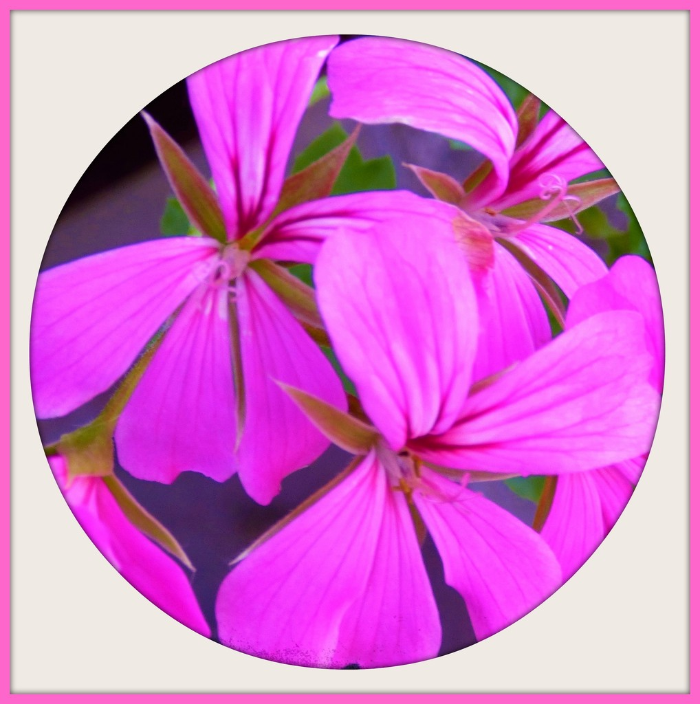 Trailing geranium -- in the Pink  by beryl