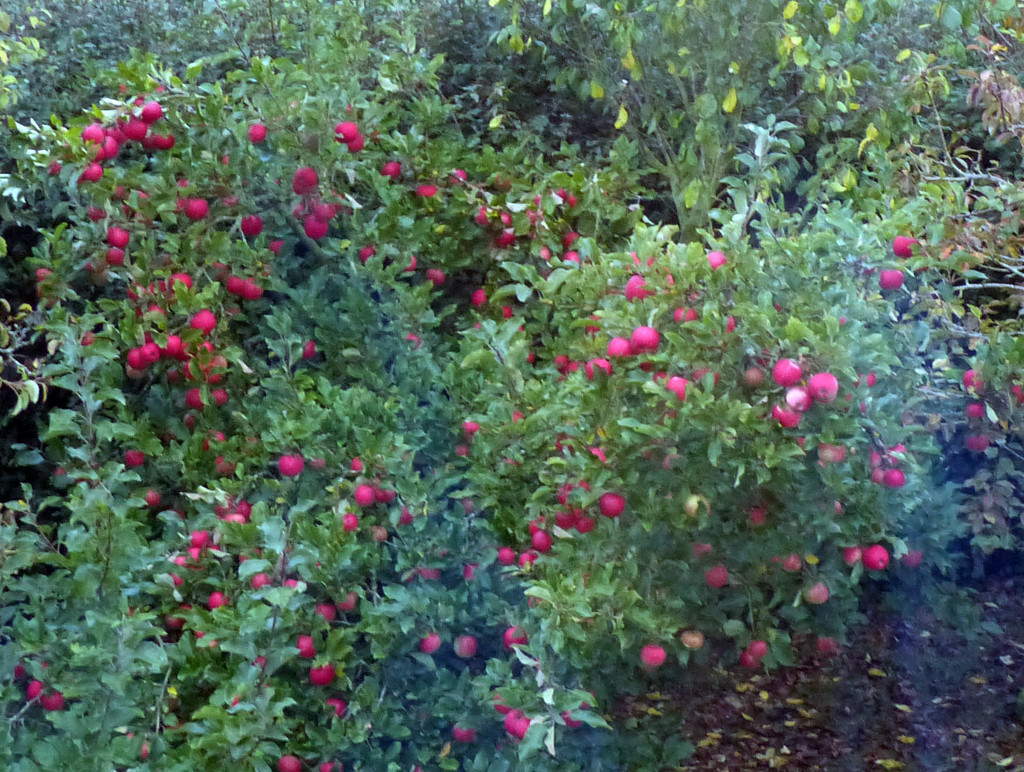 My apple tree by peterday