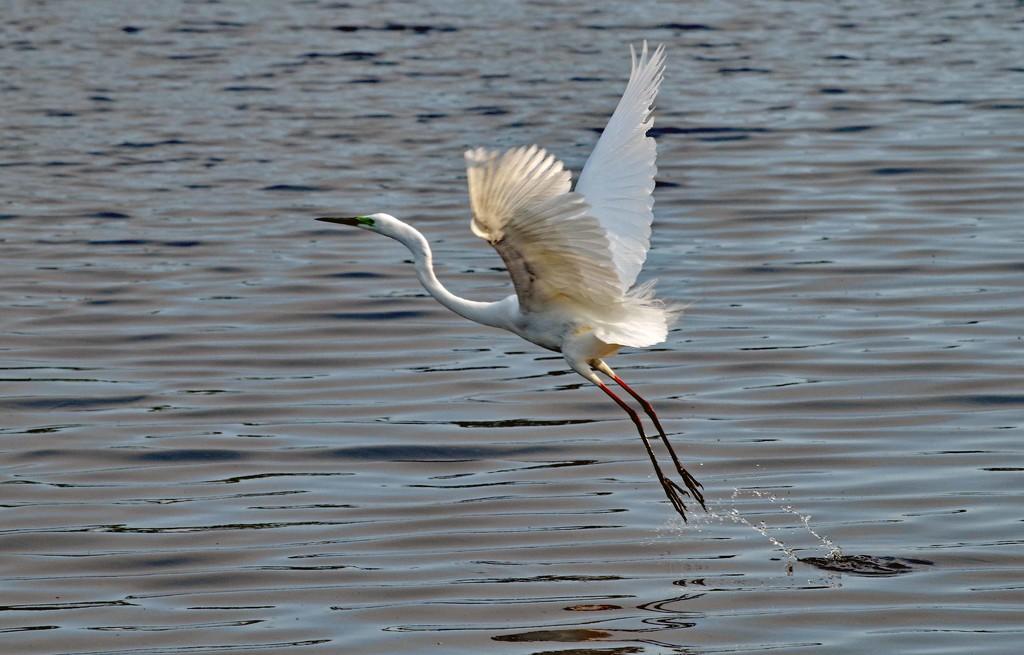 Great egret in breeding plumage by maureenpp