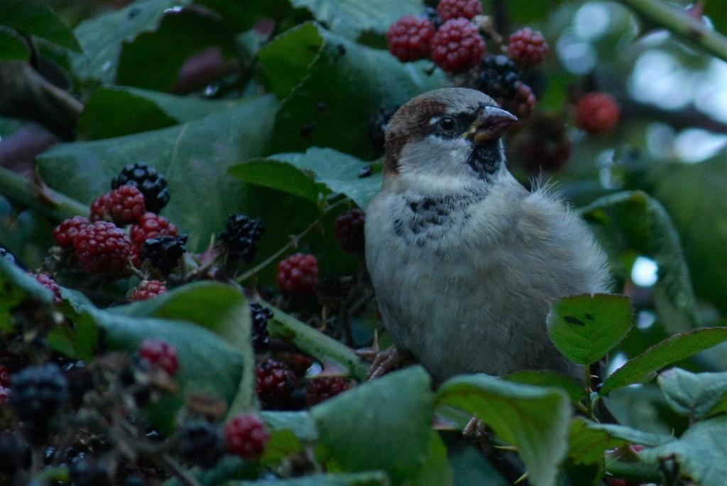 House sparrow  by ziggy77