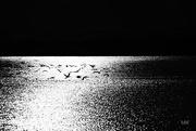 11th Oct 2016 - 2016-10-11 cormorants