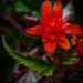 Begonia Trail  by tonygig