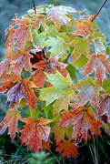 10th Oct 2016 - Cascade of frosty leaves!