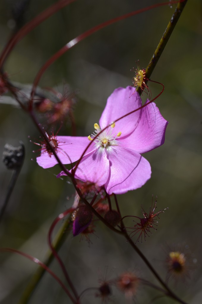 Pink Sundew..._DSC3867 by merrelyn