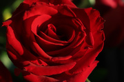 12th Oct 2016 - Red rose