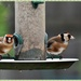 Goldfinches by rosiekind