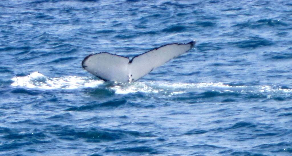 Whale watching.  Sunshine Coast  Queensland by 777margo