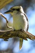 13th Oct 2016 - Peaceful young kookaburra