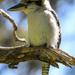 Peaceful young kookaburra by flyrobin
