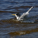 Crested tern bathing in the river by maureenpp
