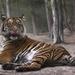 Sumatran Tiger Licking his Lips by jgpittenger
