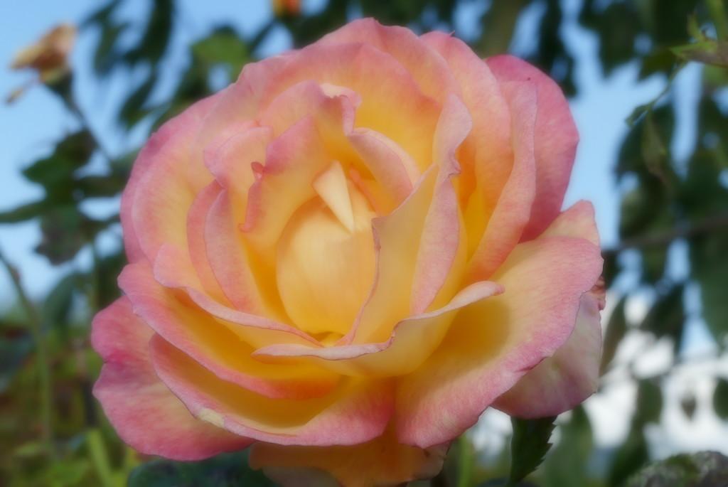 Pretty Rose by bizziebeeme