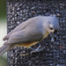 Tufted Titmouse by annepann