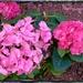 Pink Hydrangea by beryl