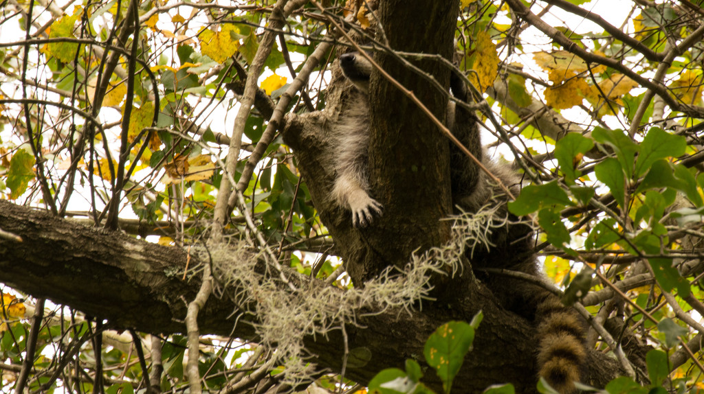 Another Florida Koala! by rickster549