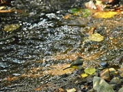 14th Oct 2016 - Grey wagtail on the stream bed