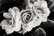 14th Oct 2016 - Flowers