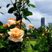 Roses at New Farm  Brisbane by 777margo