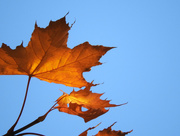 15th Oct 2016 - Fall's Golden-Brown Leaves