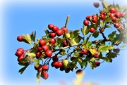 15th Oct 2016 - Red berries against a blue sky