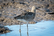 11th Oct 2016 - 2016 10 11 - Curlew