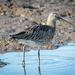 2016 10 11 - Curlew by pixiemac