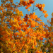 Just Like Fire: The Burning Autumn Color by alophoto